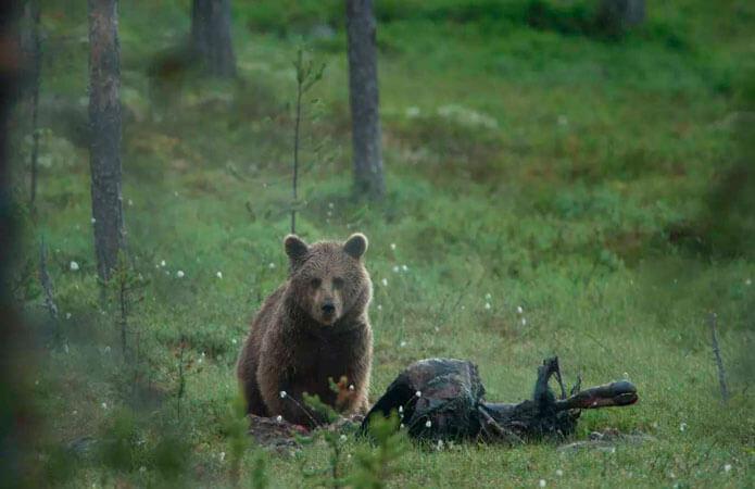 Björnsafari lofsdalen